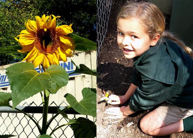 http://beyondwonderfulkidscook.com/wp-content/uploads/2015/08/sunflowerplanting_sunflowerbloom_addie_630x451.jpg