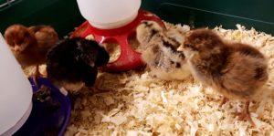 chickens_chicks_day3_4chicks_edited